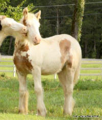 Marie, 2009 Gypsy Vanner Horse filly