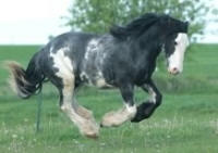 Markey of Finnegan Fields, 2007 Gypsy Vanner Horse gelding