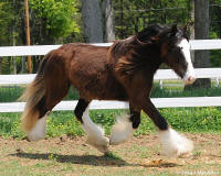 Marley, 2008 Gypsy Vanner Horse filly