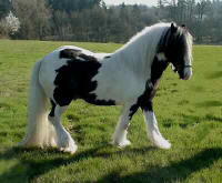 Sylvester, imported Gypsy Vanner Horse stallion