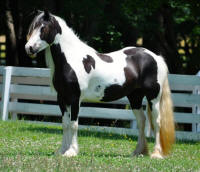 Maybe It's Maybelline, 2008 Gypsy Vanner Horse maer