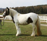 Megan, 2008 imported Gypsy Vanner Horse mare