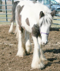 WCF Gypsy Melody, 2007 Gypsy Vanner Horse filly