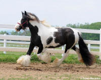 Memory, 2005 imported Gypsy Vanner Horse mare