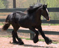 Summer's Miss Amelia, 2008 Gypsy Vanner Horse filly