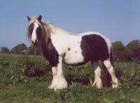 Midget Mare, Gypsy Vanner Horse Mare & daughter of the Kent Horse