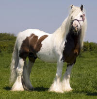 The Midget Stallion, 2000 imported Gypsy Vanner Horse foal
