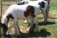 Dunrovin St. Michael, 2008 Gypsy Vanner Horse colt