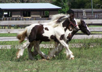 Miliana, 2011 Gypsy Vanner Horse filly