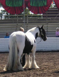 Ballywilliam, imported Gypsy Vanner Horse mare