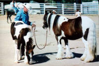 Traveller and Minnie, Gypsy Vanner Horse colt and mare at Equifair 2003
