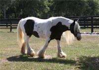 Miss Downs, 1999 imported Gypsy Vanner Horse mare