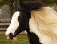 GG Caymus' Miss Molly, 2008 Gypsy Vanner Horse filly