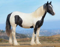 SGR Mia's Misty Blue Morning, 2013 Gypsy Vanner Horse filly