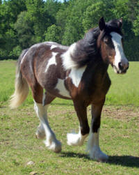 Feathered Gold Mocha Swirl, 2006 Gypsy Vanner Horse filly