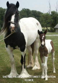 EBV Moet, 2005 Gypsy Vanner Horse filly