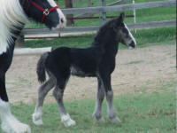 Moira, Gypsy Vanner Horse filly