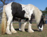 Lil Dream Galways Molly, 2003 Gypsy Vanner Horse mare