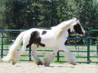 Perfect Storm's Morgana, 2009 Gypsy Vanner Horse mare