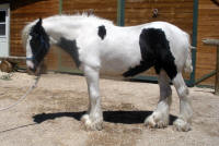 Morgan, 2009 Gypsy Vanner Horse filly