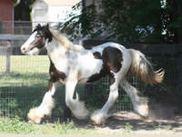 Feathered Gold Midas Touch, 2011 Gypsy Vanner Horse colt