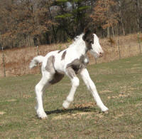 Feathered Gold Mydas Touch, 2011 Gypsy Vanner Horse colt
