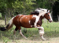 Nala, 2001 imported Gypsy Vanner Horse mare