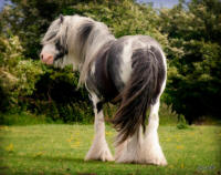 Nat West Bank, 2003 imported Gypsy Vanner Horse stallion