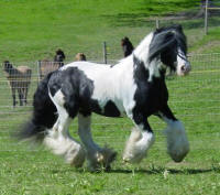 Rock Ranch Nelson, 1995 imported Gypsy Vanner Horse stallion