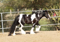 Rock Ranch Niall of Tara, 2006 Gypsy Vanner Horse stallion