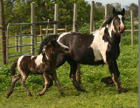 Rock Ranch Niall of Tara, 2006 Gypsy Vanner Horse colt