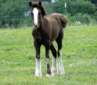 Feathered Gold Night Jewel, 2015 Gypsy Vanner Horse filly
