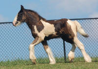 Thorn Hill Noble, 2010 Gypsy Vanner Horse colt
