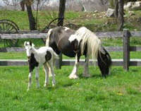 Gypsy Wood Noleen, 2007 Gypsy Vanner Horse filly