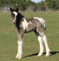 Feathered Gold Novel Idea, 2011 Gypsy Vanner Horse colt