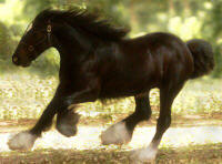 OB, imported Gypsy Vanner Horse colt