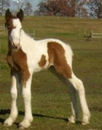 RGR Shameless Obsession, 2011 Gypsy Vanner Horse filly