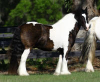 WR Odjus Ray, 2008 Gypsy Vanner Hors gelding