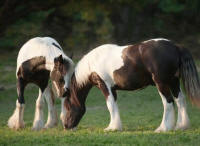 WR Odjus Ray, 2008 Gypsy Vanner Horse colt