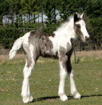 Feathered Gold Opulence, 2016 Gypsy Vanner Horse filly