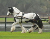 GG Oz The Wizard, 2006 Gypsy Vanner Horse stallion