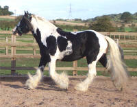 Paddy, imported Gypsy Vanner Horse gelding