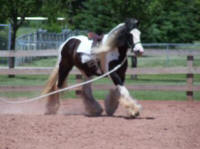 Paddy's Dream, imported Gypsy Vanner Horse gelding