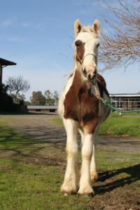 Rock Ranch Paddy, 2006 Gypsy Vanner Horse colt