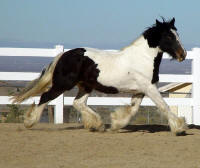 Padme, 2005 Gypsy Vanner Horse mare