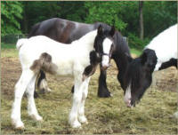 N'Co The Page Turner, 2006 Gypsy Vanner Horse filly