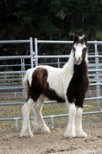 Papuza's Lil King, 2008 Gypsy Vanner Horse colt
