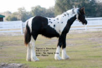Papuza's Rorschach, 2009 Gypsy Vanner Horse colt