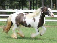 Lexlin's Patches, 2009 Gypsy Vanner Horse mare
