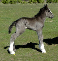 Feathered Gold Black Pearl, 2012 Gypsy Vanner Horse filly